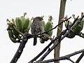 Rufous-crowned Sparrow Upper Miller Canyon Sierra Vista AZ 2018-08-09 09-19-38 (44383271781).jpg