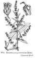 Rumex conglomeratus Fitch862.png