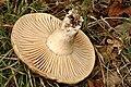 Russula nigricans - Lindsey 3b.jpg