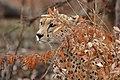 SA05037-Gepard.jpg