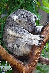 Koala Wikipédia