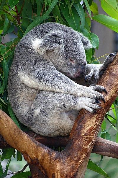 Koala ---¿cómo no?--- durmiendo...