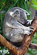 Sa-sleeping-koala.JPG