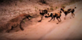 Sabi Sand Wild Safari Live Feb 29 2016 sunrise - Spotted hyena vs wild dogs.png