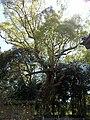 Sacred tree of Kagami-jinja 01.jpg