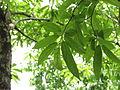 Sage-Leaved Alangium 01.JPG