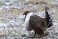 Sage Grouse (Centrocercus urophasianus) (20325146416).jpg