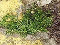 Sagina procumbens plant (21).jpg