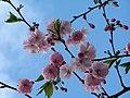 Saint Petersburg. Chinese Garden. Sakura tree2016 04.jpg