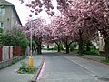Sakury, ulica gen. Viesta, Trencin - panoramio.jpg