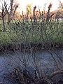 Salix gracilistyla var. melanostachys - Black Pussy Willow - 2628.jpg