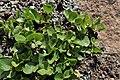 Salix herbacea kz01.jpg