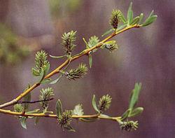 Salix lemmonii(01).jpg
