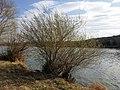 Salix purpurea sl31.jpg