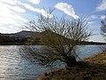 Salix purpurea sl34.jpg