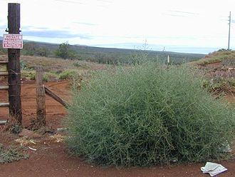 Kali (plant) - Image: Salsola tragus