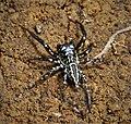 Salticidae (48851832081).jpg