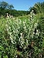 Salvia aethiopis sl28.jpg