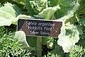 Salvia argentea Hobbits Foot 3zz.jpg