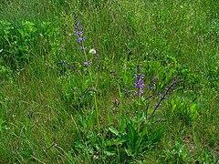 Salvia pratensis 002.JPG