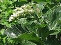 Salvia sclarea Szałwia muszkatołowa 2013-06-16 02.jpg