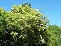 Sambucus nigra 002.jpg
