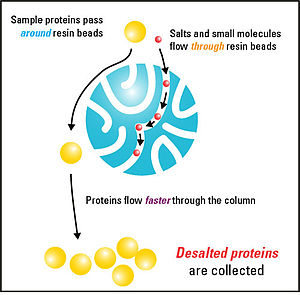 Desalting and buffer exchange - Salts and small molecules can be removed from protein samples by gel filtration chromatography. When added to the column, small molecules have to travel through the extensive pores of the resin beads, while large macromolecules like proteins can't fit and therefore travel around them. This allows the larger molecules to flow through the column at a faster rate than smaller molecules that have to traverse through the resin. Thus, the desalted proteins can be separated and collected.