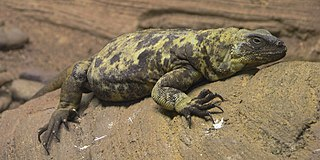 San Esteban chuckwalla species of reptile