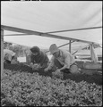 San Leandro, California. Bunching young tomato plants on an Alameda County farm for one of the last . . . - NARA - 536435.tif