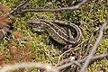 Sand Lizard (Lacerta agilis) (8693211028).jpg