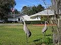 Sandhill Cranes invade Inverness, FL - panoramio.jpg