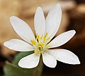Sanguinaria canadensis (26916651283).jpg