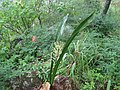 Sansevieria pedicellata (4325068390).jpg