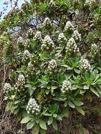 Echium hypertropicum - Echium hypertropicum at Ribeira Principal in Santiago Island