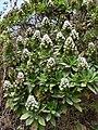 Santiago-Echium hypertropicum (1).JPG