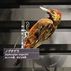 Sapheopipo noguchii - National Museum of Nature and Science, Tokyo - DSC06804.JPG