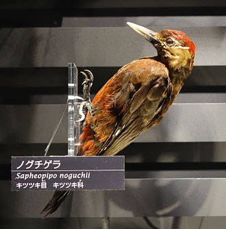 Okinawa woodpecker - Image: Sapheopipo noguchii National Museum of Nature and Science, Tokyo DSC06804