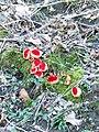 Sarcoscypha austriaca, Fonthill Lake - geograph.org.uk - 1736414.jpg