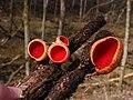 Sarcoscypha austriaca (O. Beck ex Sacc.) Boud 201554.jpg