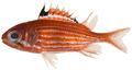 Sargocentron coruscum - pone.0010676.g038.png
