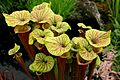 Sarracenia at Tatton Park Flower Show.jpg