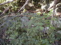 Sauropus albiflorus dorsal.jpg