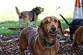 Sausage Dog (6719107007).jpg