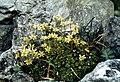 Saxifraga exarata ssp moschata (Pyrenees).jpg