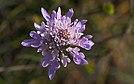 Scabiosa atropurpurea, flower, Sète 01.jpg