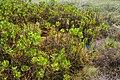 Scaevola plumieri colony Dunedin Florida.jpg