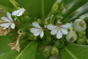 Scaevola (plant) - Flowers of Scaevola taccada (Beach Naupaka)