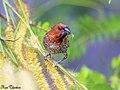 Scaly breasted munia or spotted munia (Lonchura punctulata) (22631048765).jpg