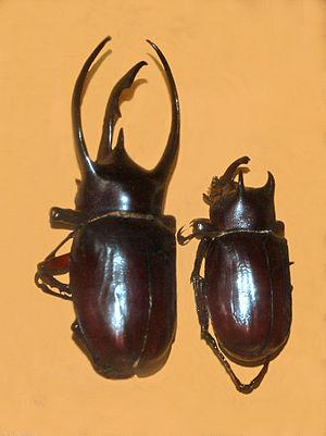 Atlas beetle - Image: Scarabaeidae Chalcosoma atlas
