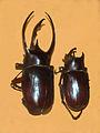 Scarabaeidae - Chalcosoma atlas.JPG